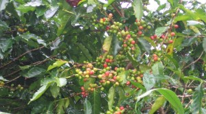 Coffee Berries Sized & Ready
