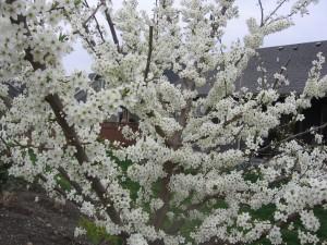 Plum Tree in Bloom 002